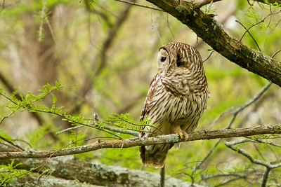 Barred_Owl-003