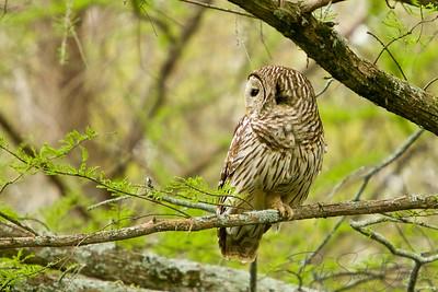 Barred_Owl-003