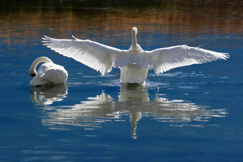 """Wild Trumpeter Swans Courting. Click the """"Buy"""" or shopping cart button (above the image) to purchase prints or downloads."""