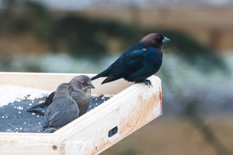 201403-Brown Headed Cowbird-0005