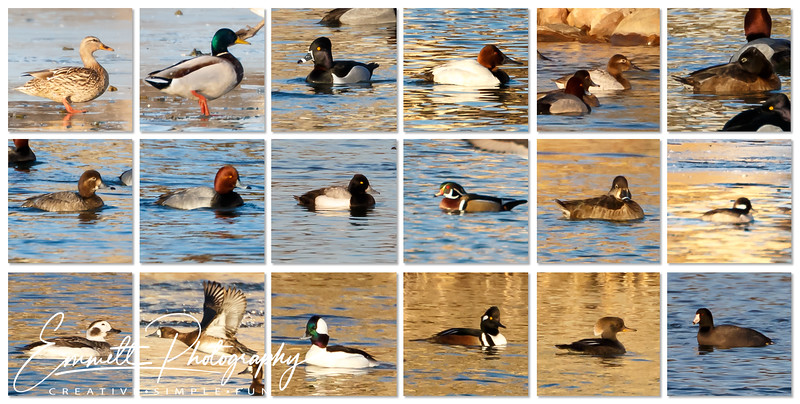 Top Row:<br /> -Mallard Female<br /> -Mallard Male<br /> -Ring-necked Duck Male<br /> -Canvasback Male<br /> -Canvasback Female<br /> -Ring-necked Female<br /> <br /> Middle Row:<br /> -Red Head Female<br /> -Red Head Male<br /> -Lesser Scaup Male<br /> -Wood Duck<br /> -Ring-necked Female<br /> -Bufflehead Female<br /> <br /> Bottom Row:<br /> -Long Tailed Duck<br /> -Lesser Scaup Female<br /> -Bufflehead Male<br /> -Hooded Merganser Male<br /> -Hooded Merganser Female<br /> -American Coot