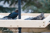 201403-Brown Headed Cowbird-0007