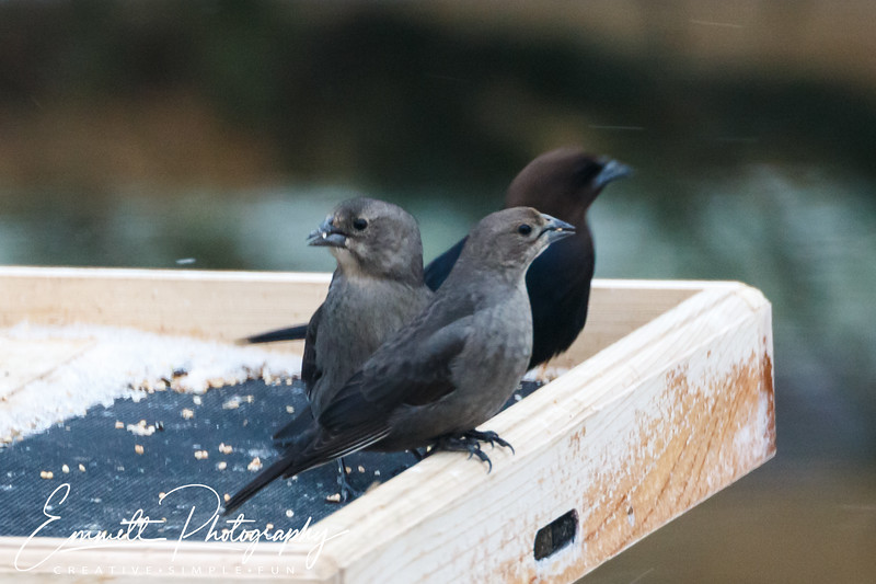 201403-Brown Headed Cowbird-0004
