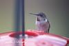 201211-Humming_Bird-0006