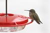 201211-Humming_Bird-0009