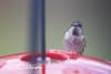 201211-Humming_Bird-0007