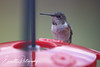 201211-Humming_Bird-0005