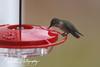 201211-Humming_Bird-0001
