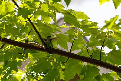201306-Hummingbird-0020