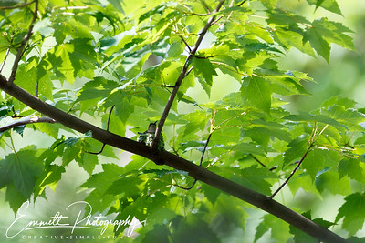 201306-Hummingbird-0040