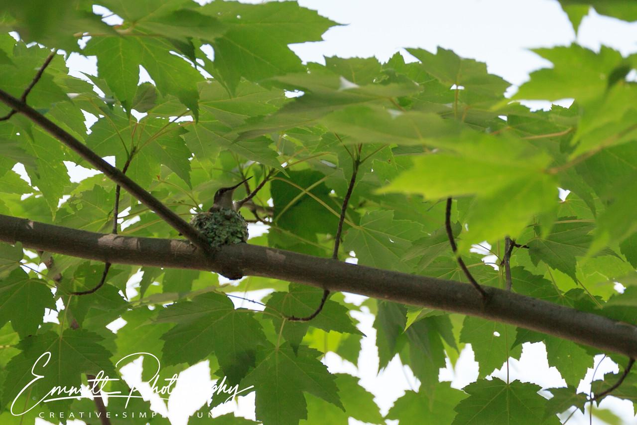 201306-Hummingbird-0002