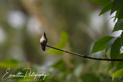 201306-Hummingbird-0037