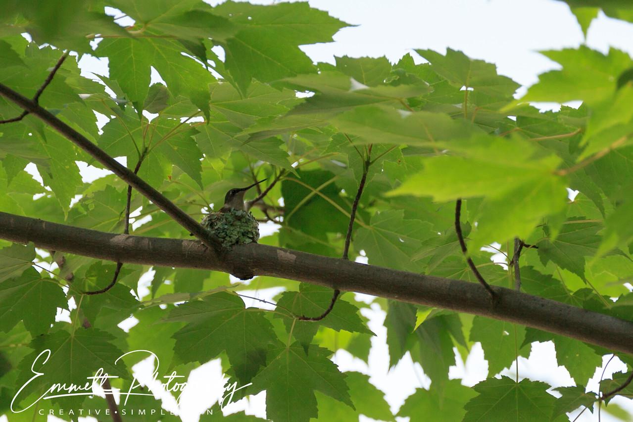 201306-Hummingbird-0001