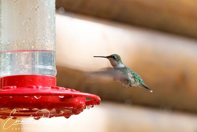 201306-Hummingbird-0023