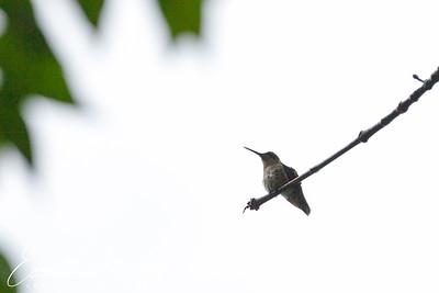201306-Hummingbird-0004