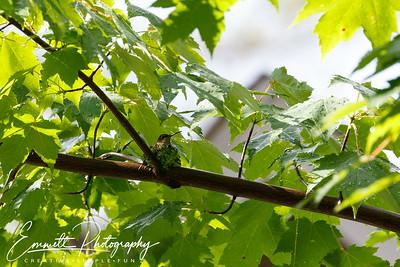 201306-Hummingbird-0022