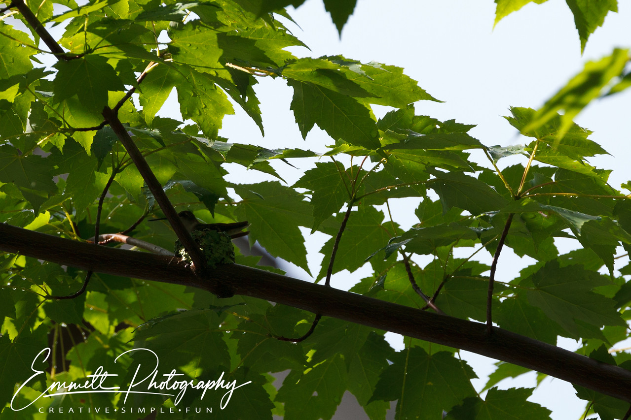 201306-Hummingbird-0035