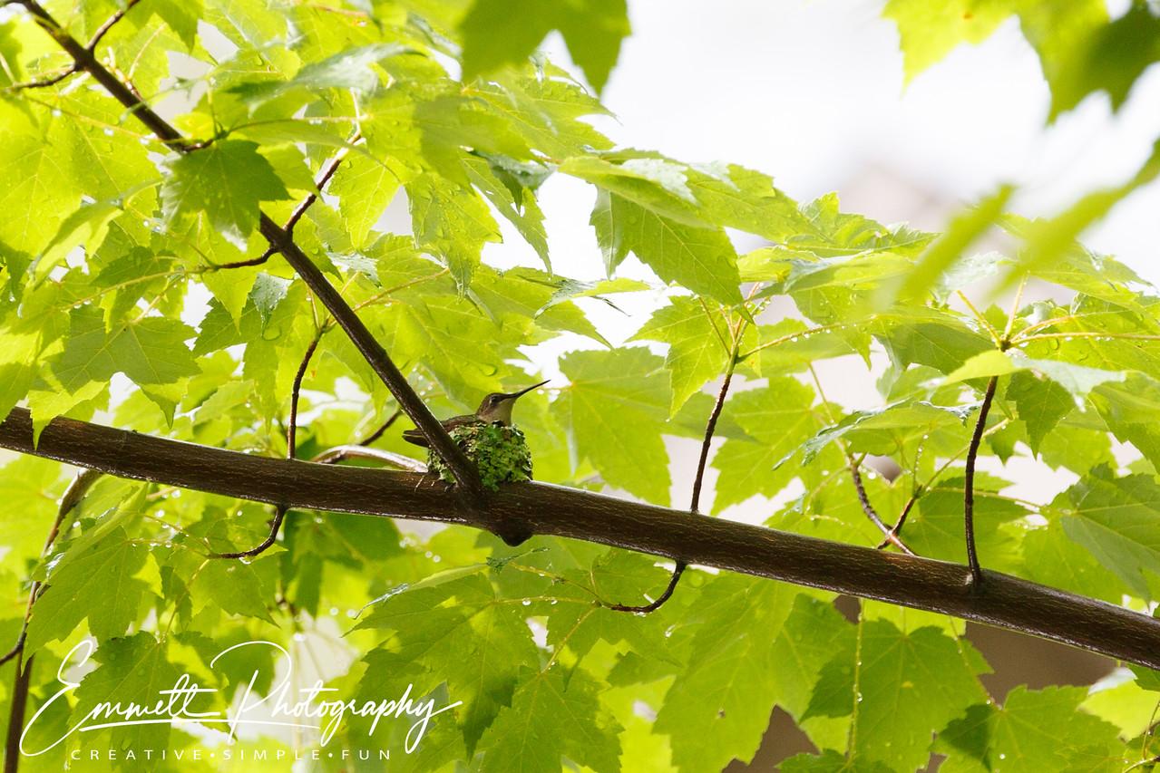 201306-Hummingbird-0005