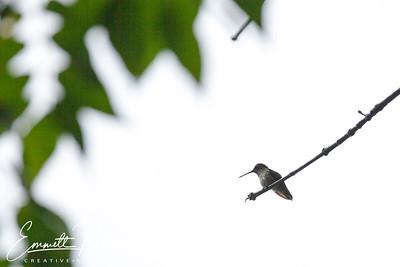 201306-Hummingbird-0003