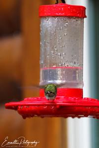 201306-Hummingbird-0015