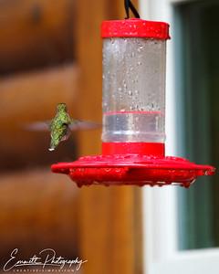 201306-Hummingbird-0018