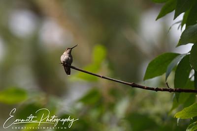 201306-Hummingbird-0036