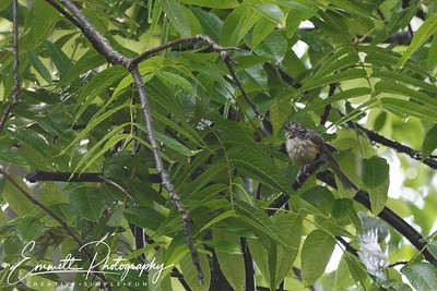 201306-Hummingbird-0006