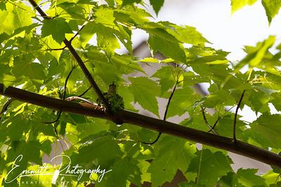 201306-Hummingbird-0021