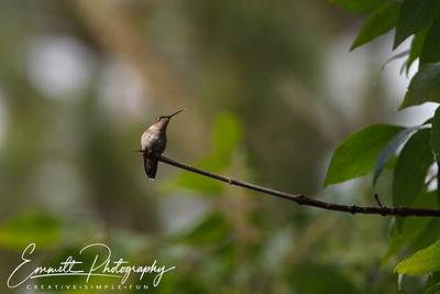 201306-Hummingbird-0038