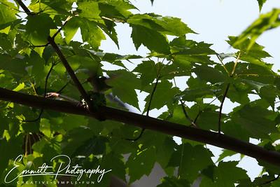 201306-Hummingbird-0033