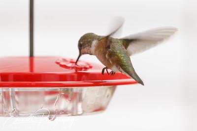 Humming_Bird-9