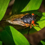 Cicada on Leaves