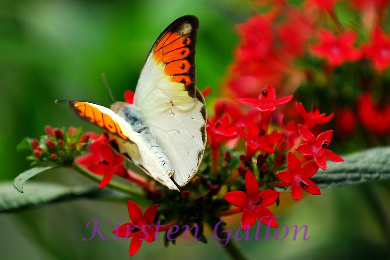 Great Orange Tip (hebomia glaucippe)