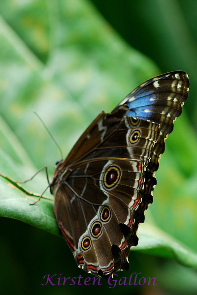 Blue Morph with a broken wing.  Unfortunately people don't follow the rules of not touching so the butterflies end up with broken wings or missing parts.