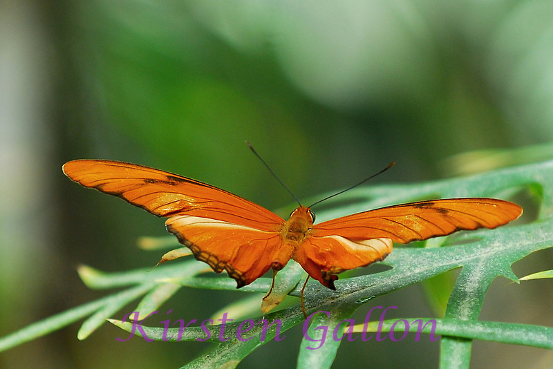 Orange Julia (dryus julia)