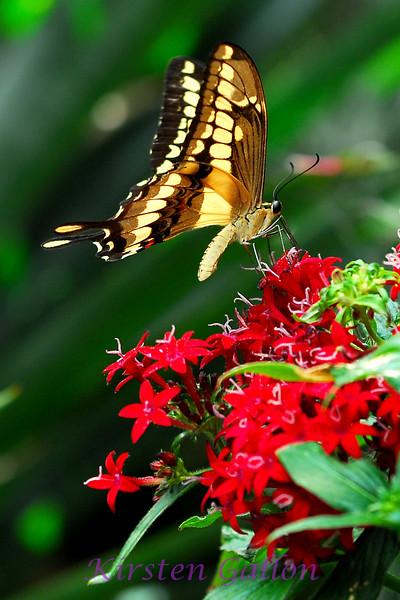 Giant Swallowtail. ( papilio cresphontes)