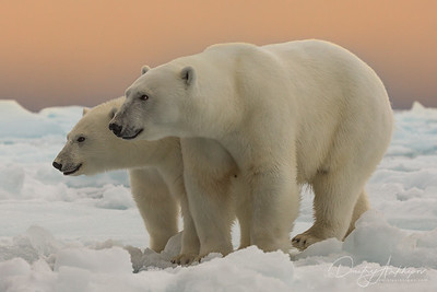 two bears on the ice