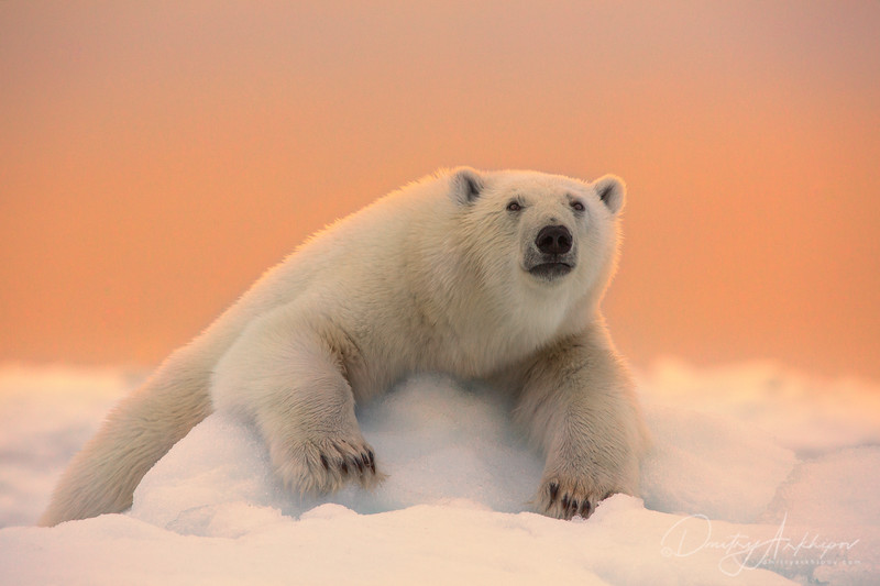 white bear in Arctica
