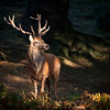 12 point red deer stag in morning light