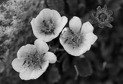 wild flowers, edith cavell
