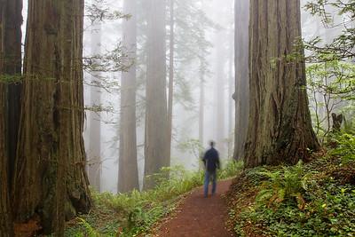 Hiker walking through Redwood forest