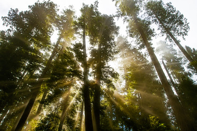 Sunlight breaking through fog among Redwood trees