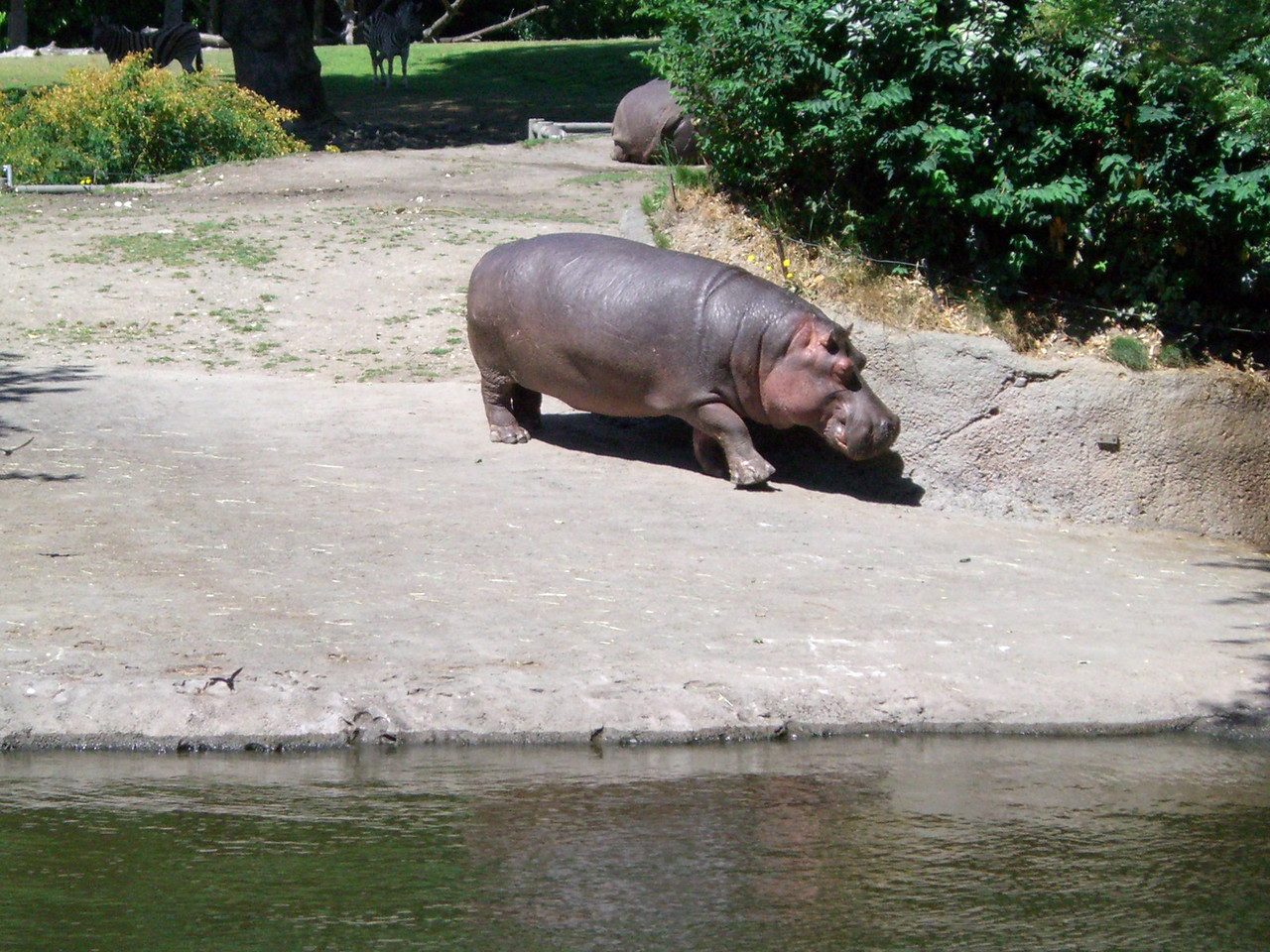 We got to see the hippos up close and personal! One was out of the water while the other was in. These things are huge! Kimber loved it.