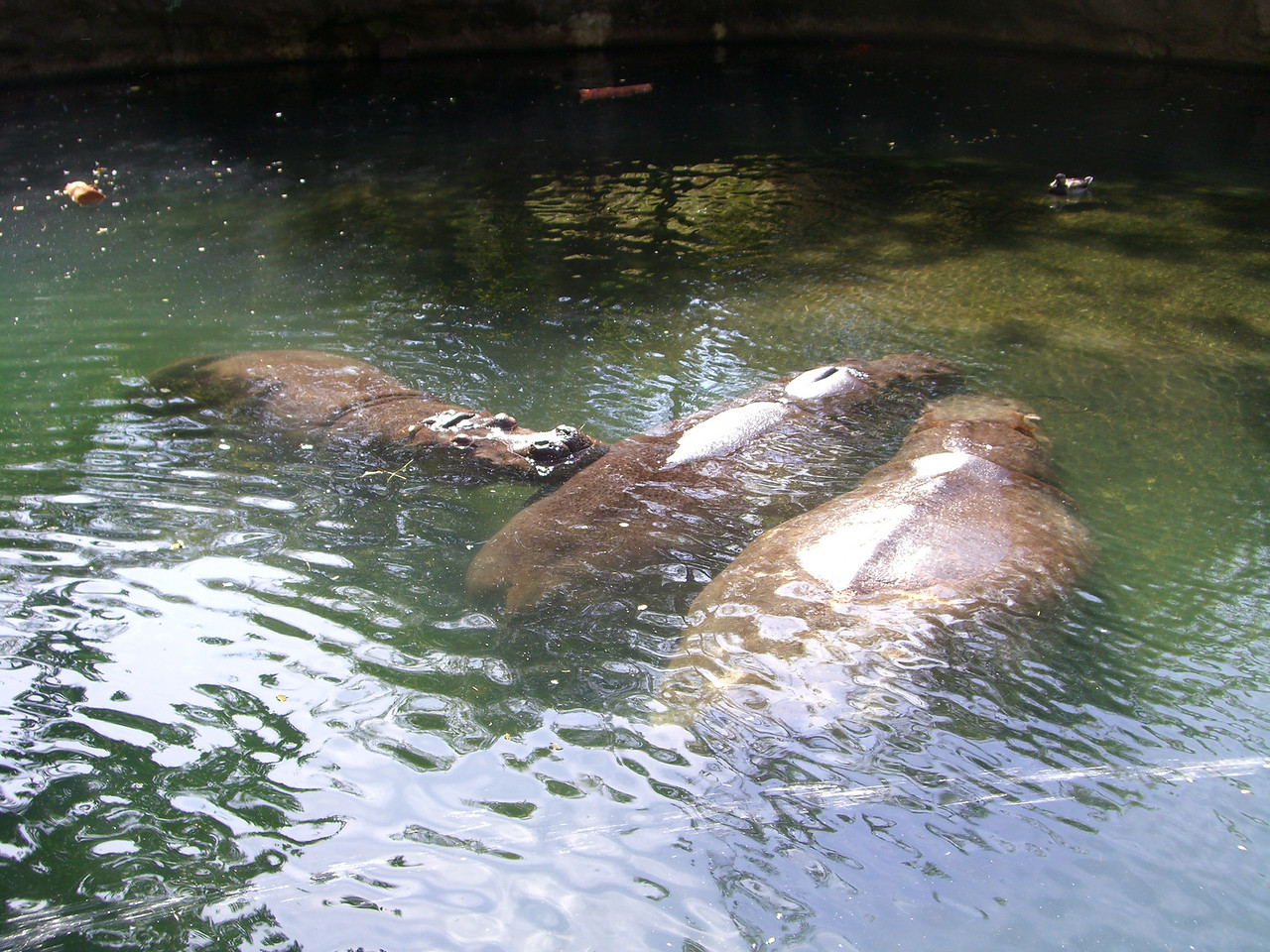 The three hippos relaxing in the water.