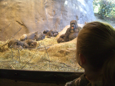 Looking at the gorillas.