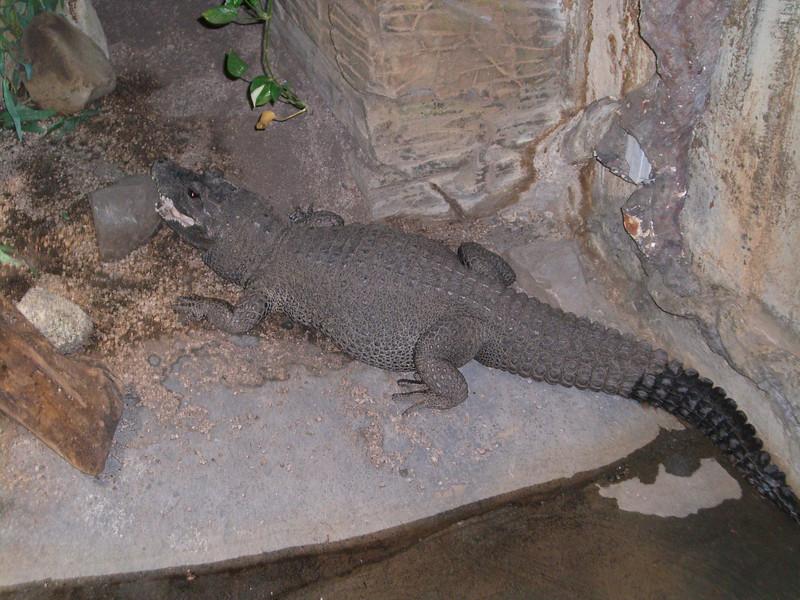 Alligator or crocodile...I don't remember.