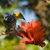 Eurasian Golden Oriole, Hluhluwe Game Reserve, South Africa