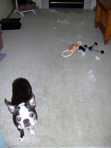 "Busted! The look of innocence after being caught de-stuffing chew toys. ""What did I do?"""