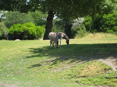 Zebras.  Zoo trip with Grandmama Carol, Papa Ben, Whitney, Kimber and I (June '09).