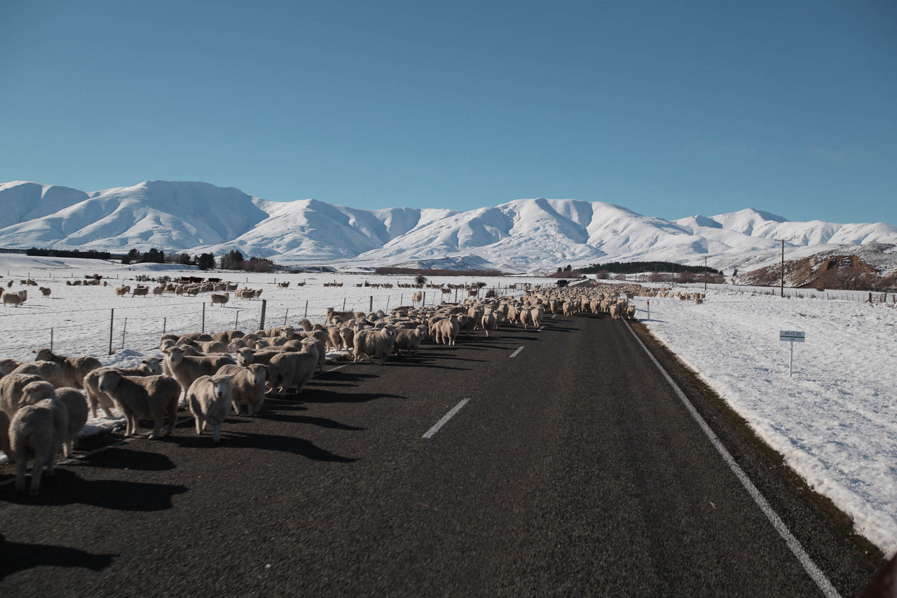 I'd seen postcards of the sheep in NZ but I didn't think it really actually happened. So in the middle of a last minute drive to Naisby for a sledding scene, we ran into what must have been a 2k sheep stop. We cruised through at a descent clip and I'm happy to have gotten the experience!